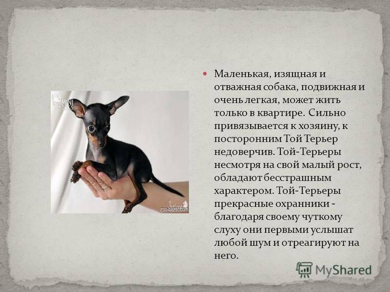 Той-терьер (40 фото): описание русской породы. воспитание и дрессировка щенков, стандарты, выбор одежды и игрушек, характер