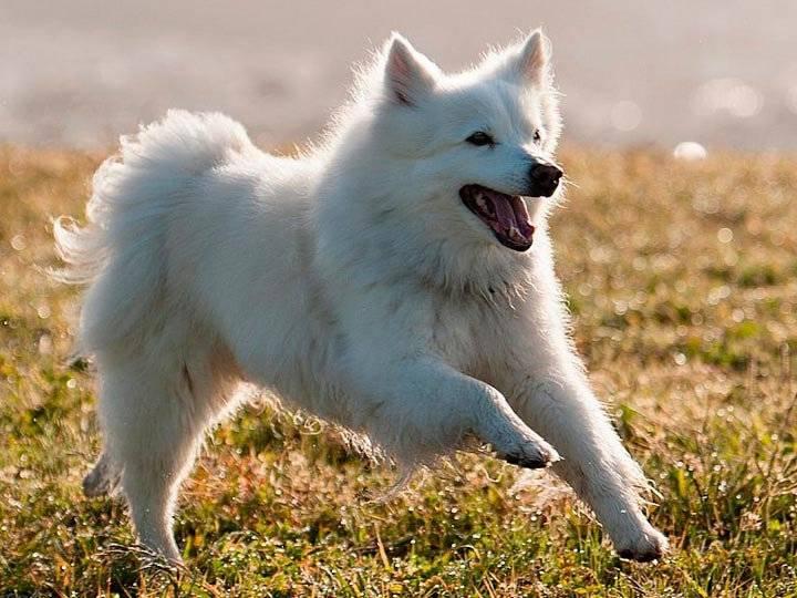 Американский эскимосский шпиц: фото и описание, характер, стандарт породы, внешность, содержание и уход, покупка щенка, видео