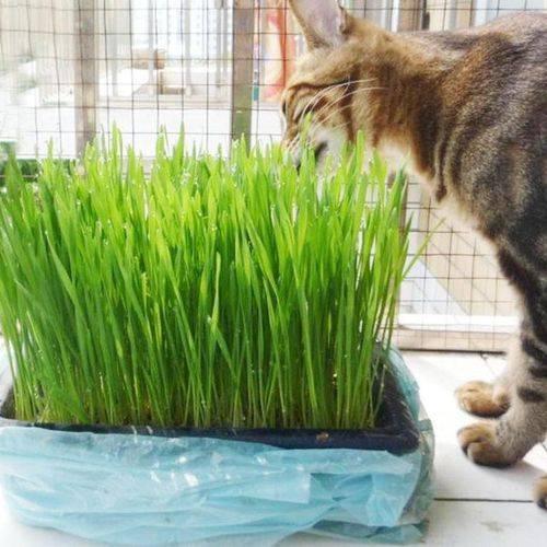 Какую траву посадить для кошки дома