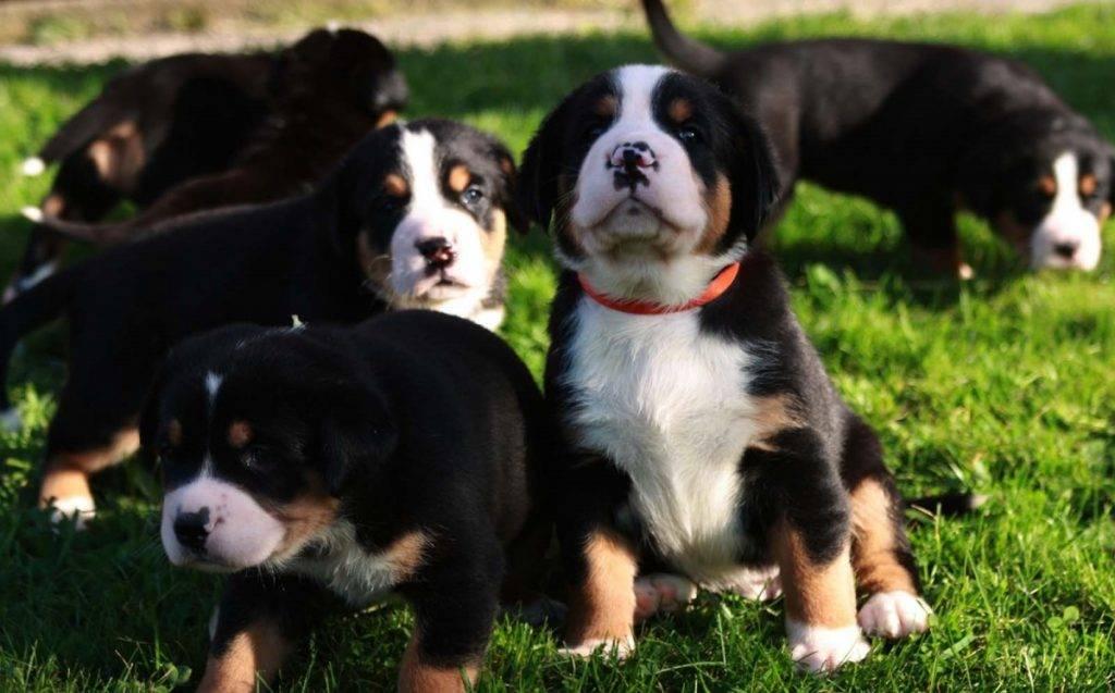 Большой швейцарский зенненхунд: фото, описание породы собак, характер бернского зеннехунда