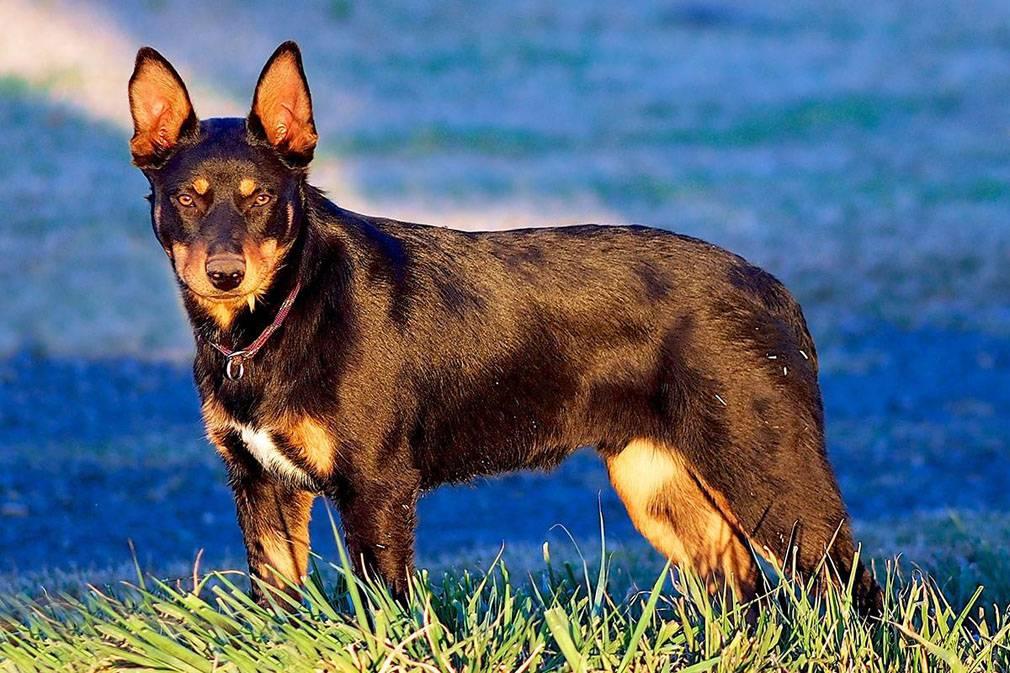 Австралийский келпи: фото породы собак, характер австралийской овчарки и её основные характеристики