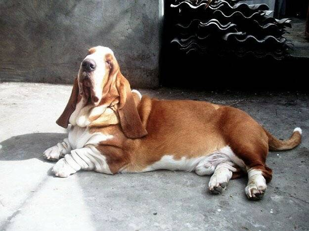 Ожирение у собак – причины появления и что делать | ветмед