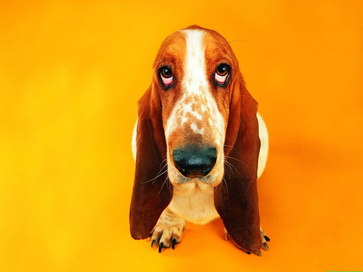 Разнообразие пород собак с длинными ушами