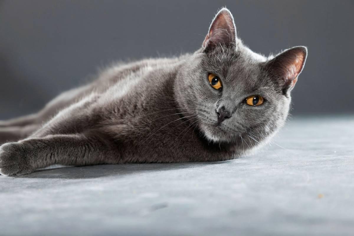 Картезианская кошка шартрез: описание породы, характер и воспитание, содержание и уход, фото, отзывы владельцев