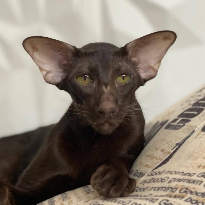 Ориентальная кошка. описание, особенности, цена и уход за ориентальной кошкой | животный мир
