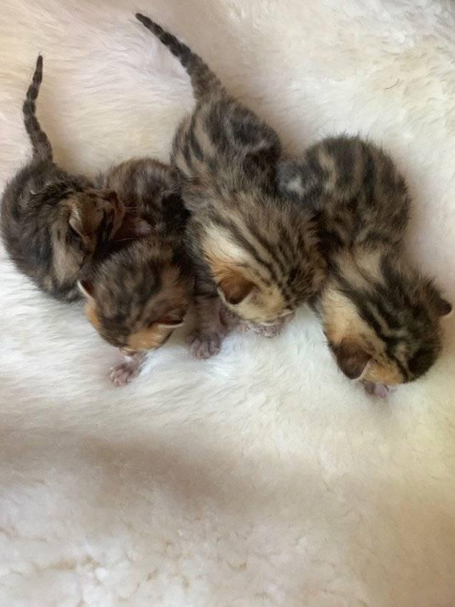 Когда котенок начинает открывать глаза после своего рождения