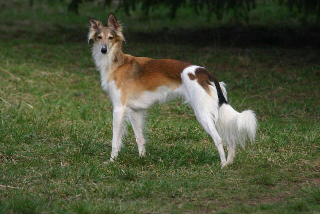 Харьер собака: фото, купить, видео, цена, содержание дома