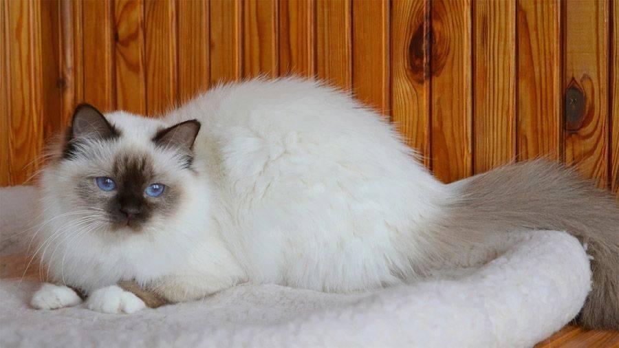Рэгдолл: особенности содержания фото и описание уникальной породы кошек