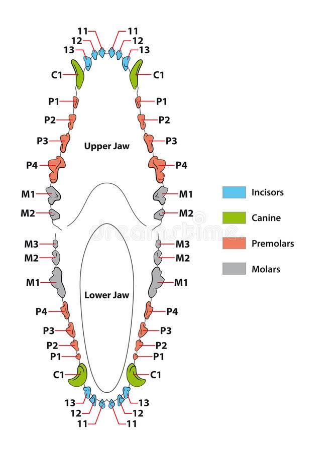 Зубы у собак — количество, схема строения и правила ухода