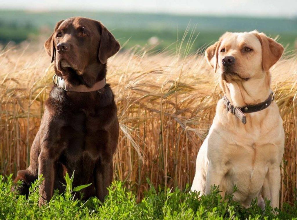 Лабрадор-ретривер: фото, цена, описание породы и уход за собакой
