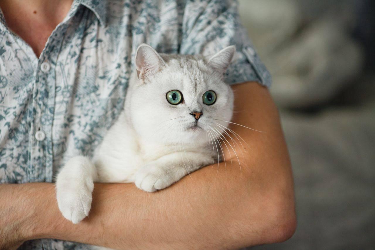Золотая шиншилла – что представляет собой этот редкий окрас кошек?