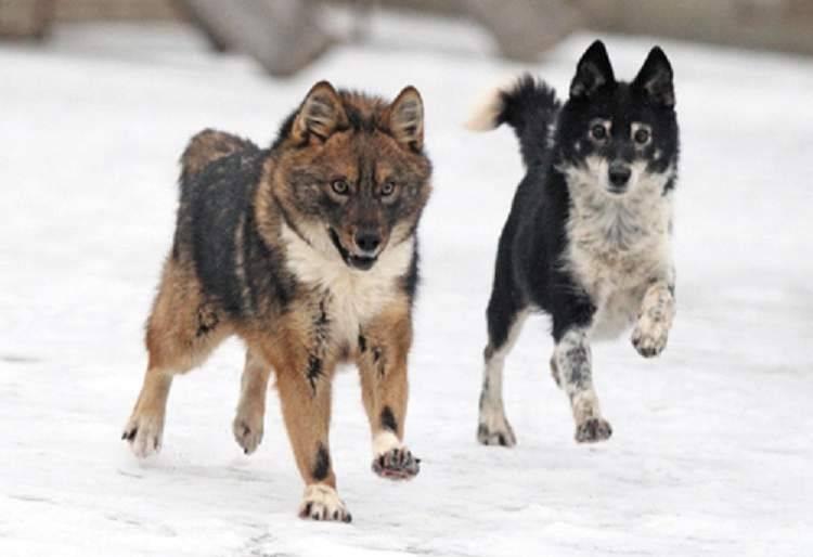 Характеристика породы собака сулимова