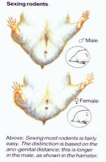 Как определить пол мышки: 7 шагов (с иллюстрациями)