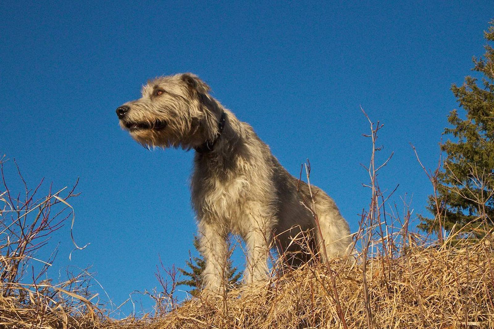 Порода собак ирландский волкодав (вольфхаунд), характеристика