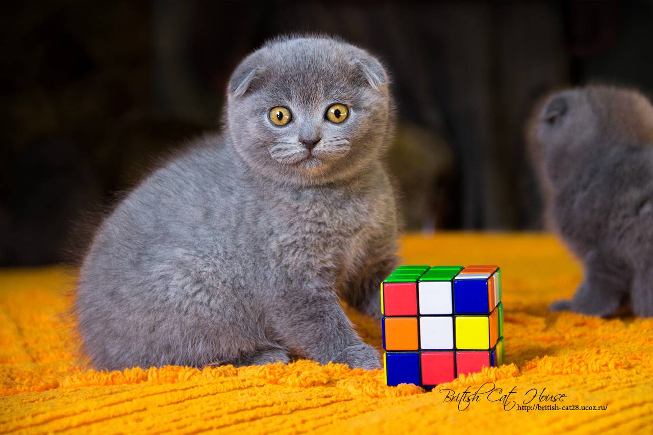 Кошка породы скоттиш фолд. характеристика породы, уход и содержание: отзывы владельцев +видео