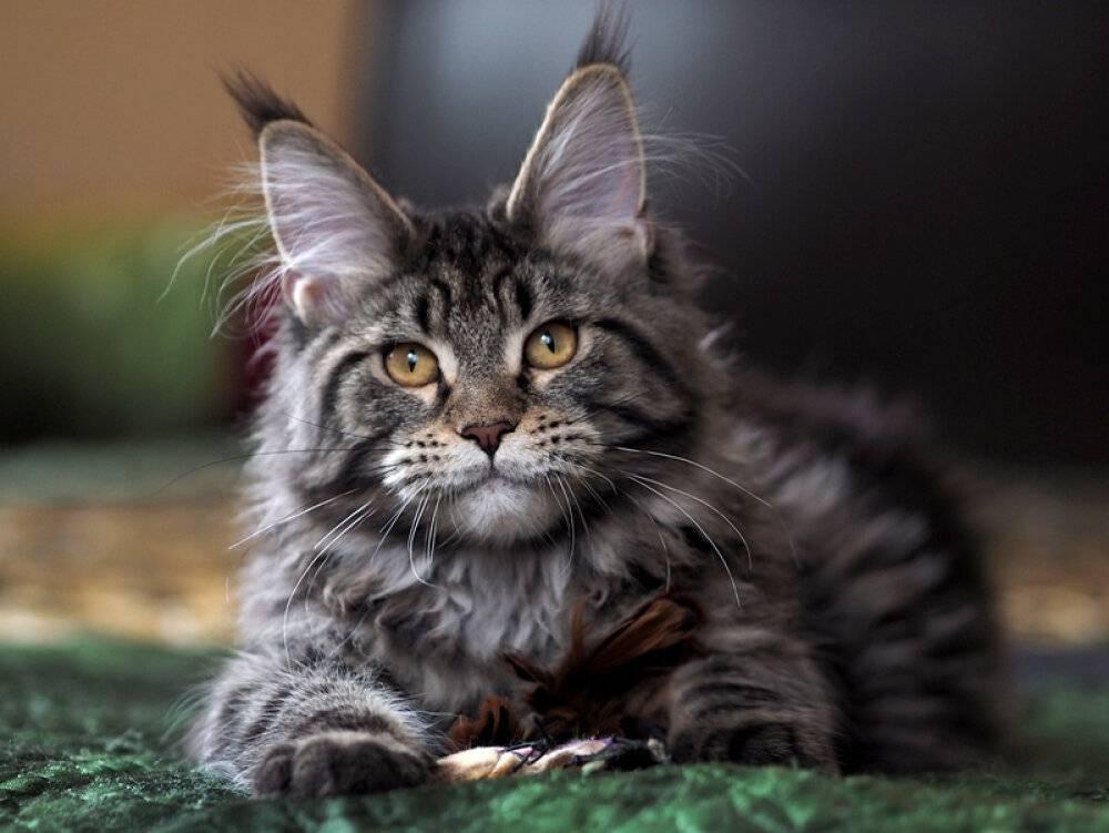 Топ 10 самых умных пород кошек - фото и описание