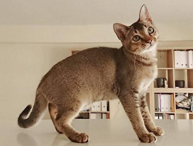 Сингапурская кошка в обзоре породы и оценке характеристик | обалденно