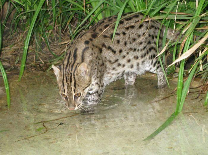 Можно ли содержать виверрового кота-рыболова в домашних условиях, сколько стоит котенок: фото и описание животного