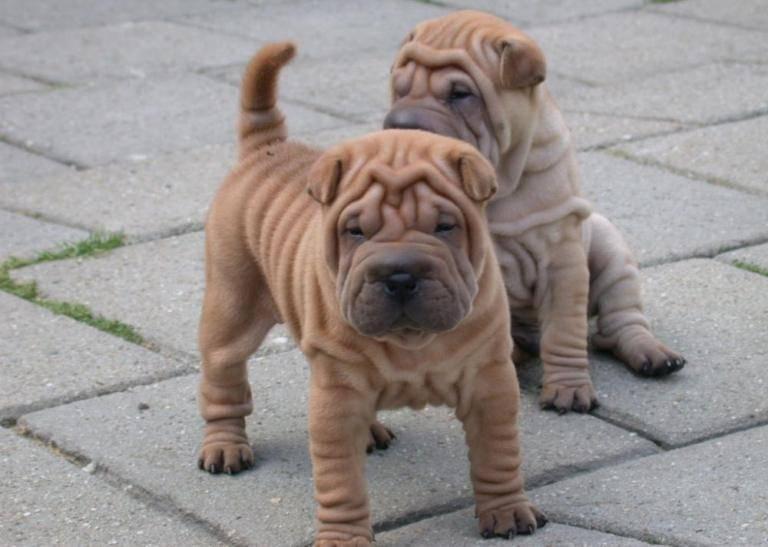 Собаки со складками: обзор морщинистых пород