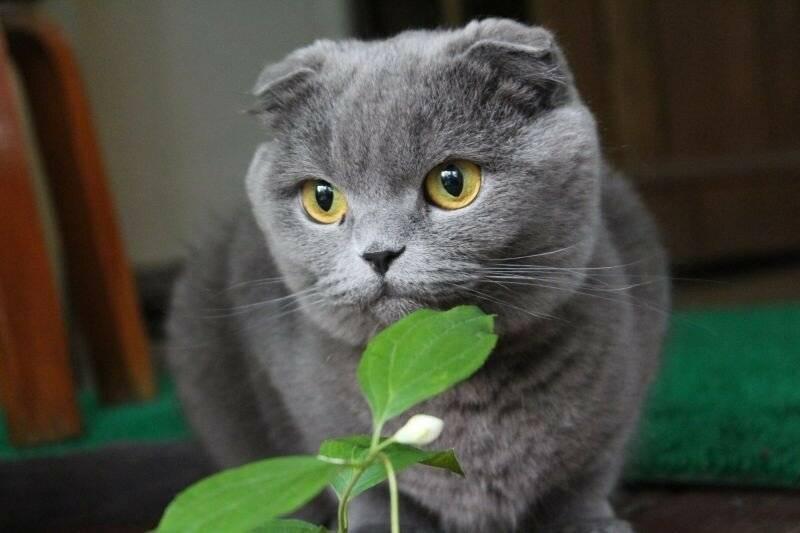 Каким кормом кормить шотландского вислоухого котенка