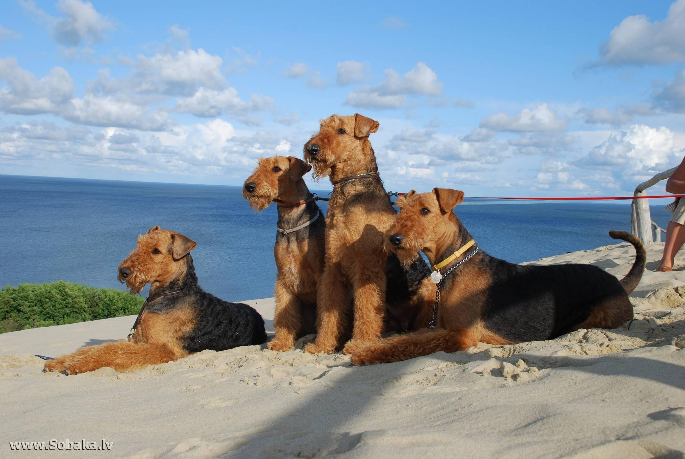 Собака эрдельтерьер: описание породы