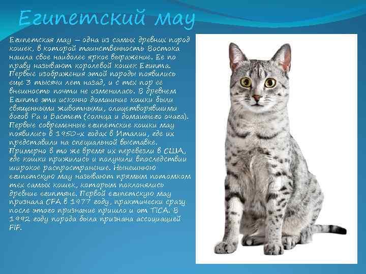 Сибирская кошка: фото, описание, характер, содержание, отзывы
