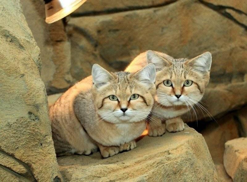 Барханный кот (песчаная кошка): в дикой природе и неволе, фото, видео, цена