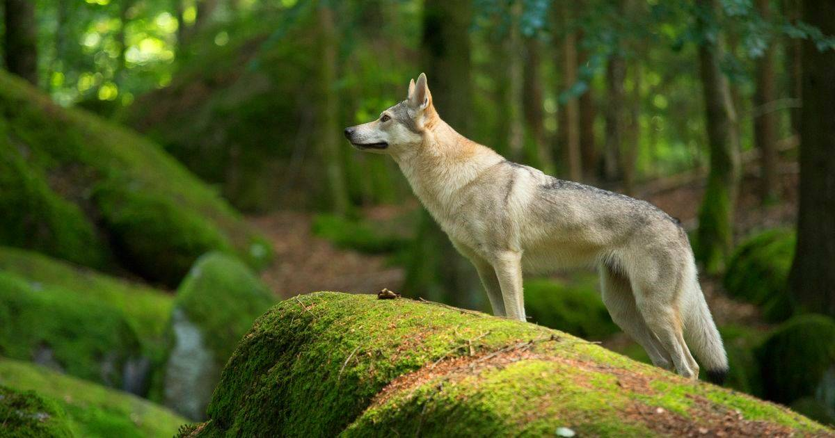 Волчья собака сарлоса (саарлоосвольфхунд, саарлоос вольфхонд, саарлосс: фото, купить, видео, цена, содержание дома