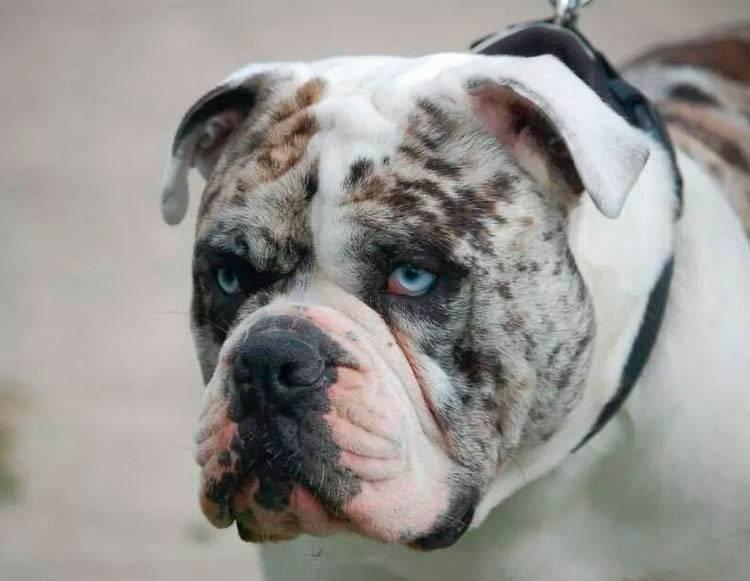 Алапахские чистокровные бульдоги (30 фото): описание породы, характер собак и особенности их содержания