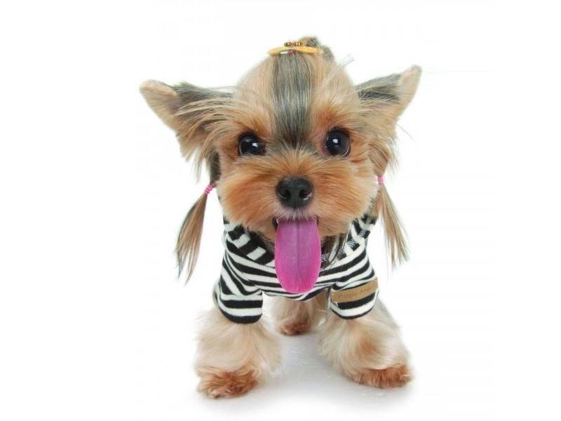 Клички для йорков — как оригинально и красиво назвать щенка?