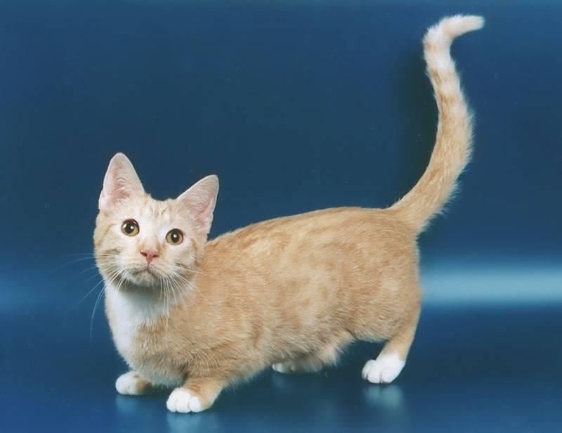 Манчкин — очень красивая коротколапая кошка. топ-100 реальных фото, отзывы, содержание, характер, окрас, цена котят