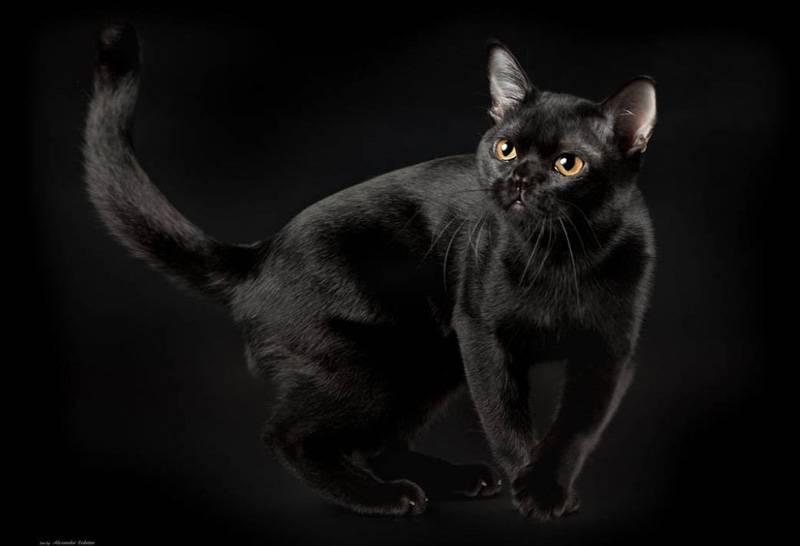 Бомбейская кошка: фото, описание, характер, содержание, отзывы
