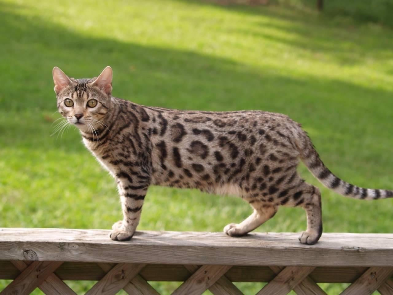 Как выглядит порода пятнистой кошки, фото и названия