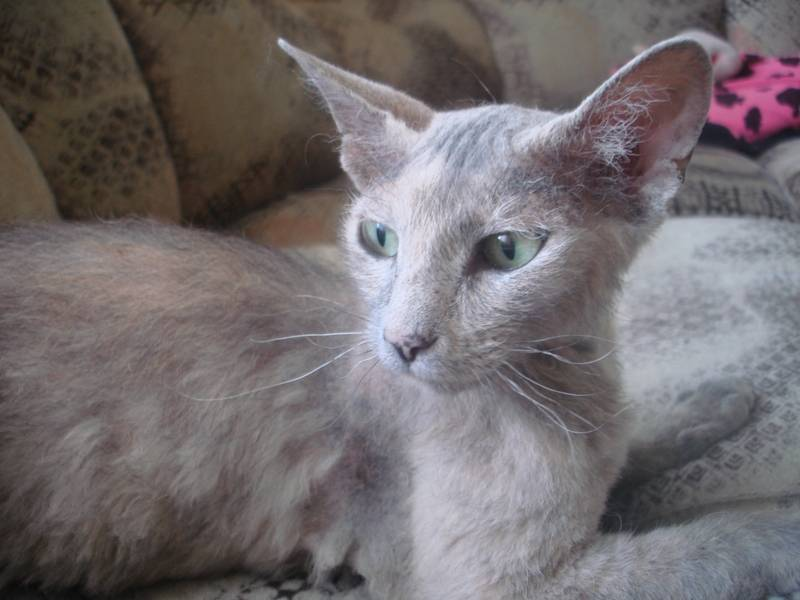 Сфинкс и обычная кошка помесь фото
