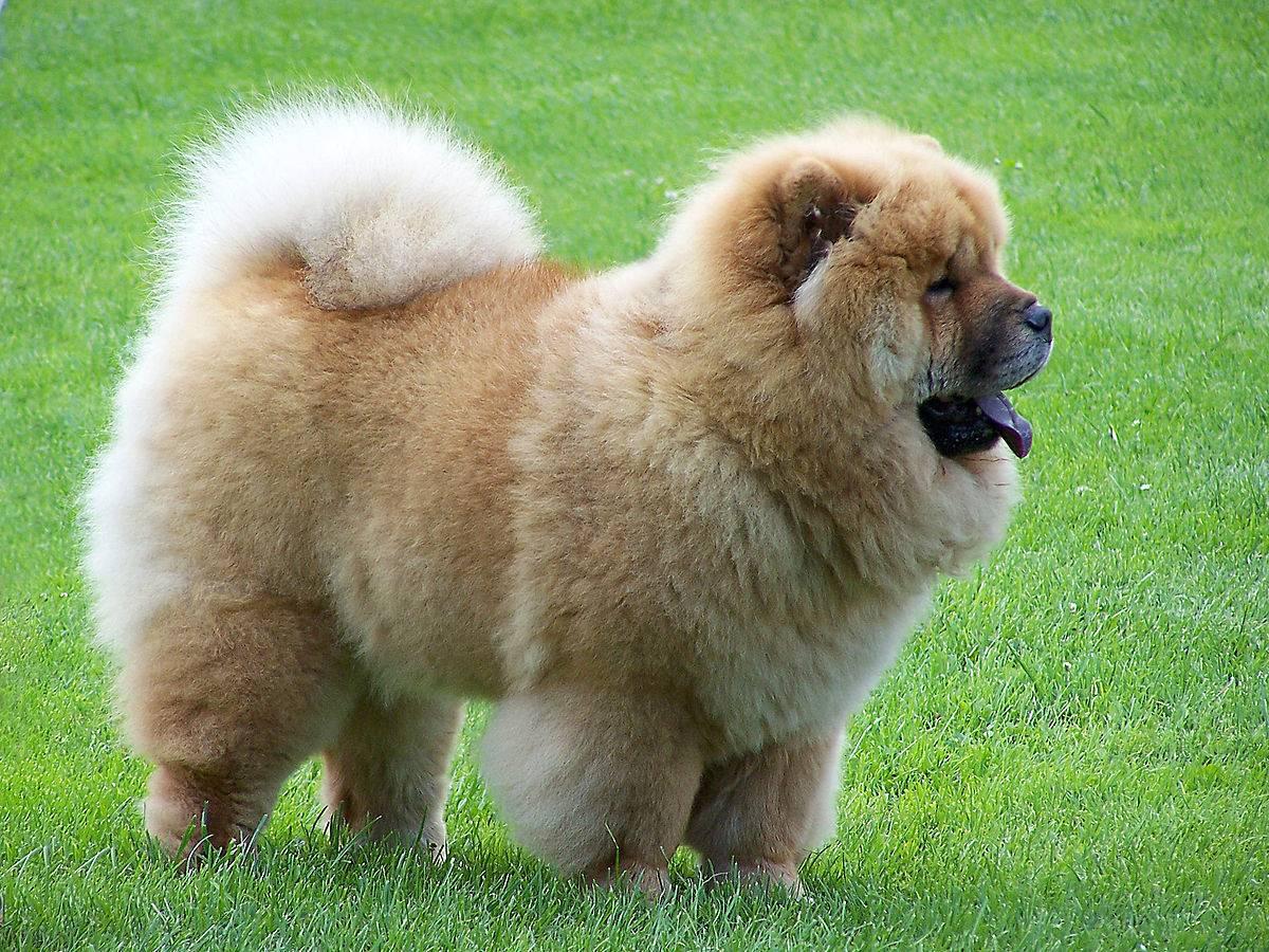 Чау-чау: фото как выглядит собака черного, белого, рыжего, голубого, цимтового и серого окраса, описание породы и виды питомцев