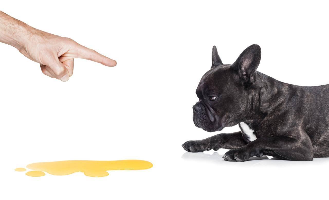 Как отучить собаку метить в квартире: что делать, эффективные способы и методы отучивания