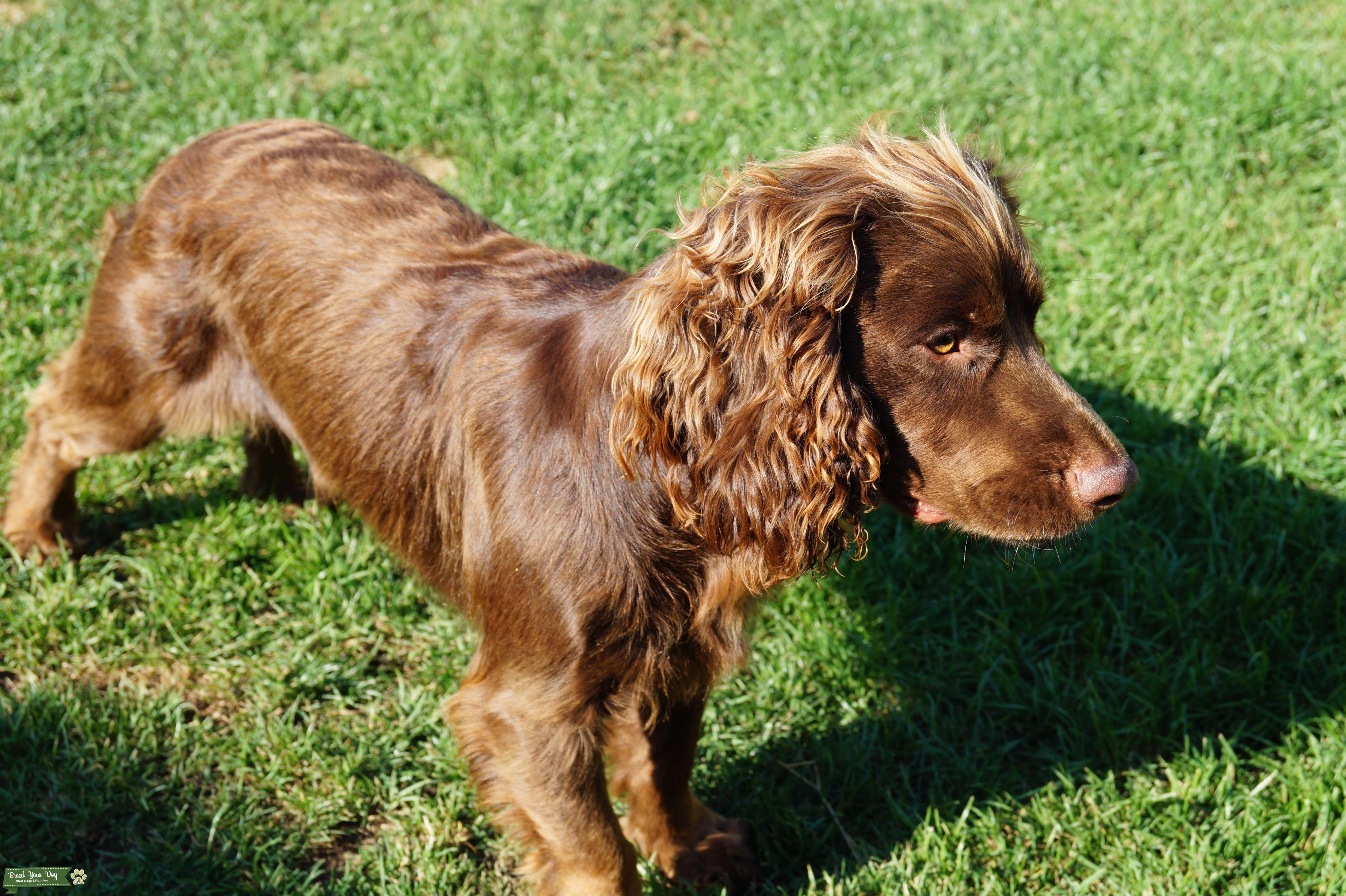 Английский кокер-спаниель: описание породы собак с фото и видео