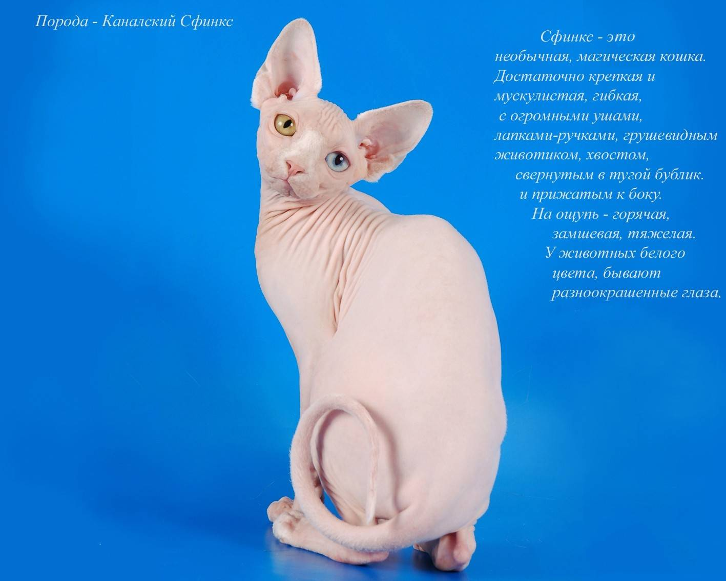 Лысые крысы (28 фото): сколько живут сфинксы? как ухаживать за домашней декоративной крысой?