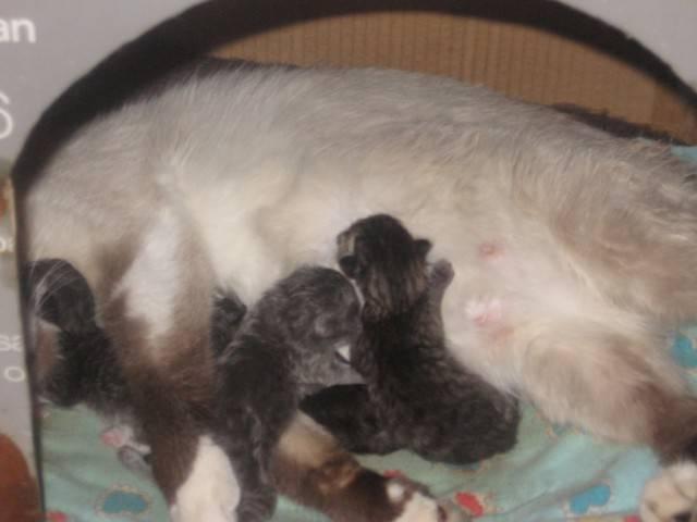 Беременность кошки и роды » kuguarlend