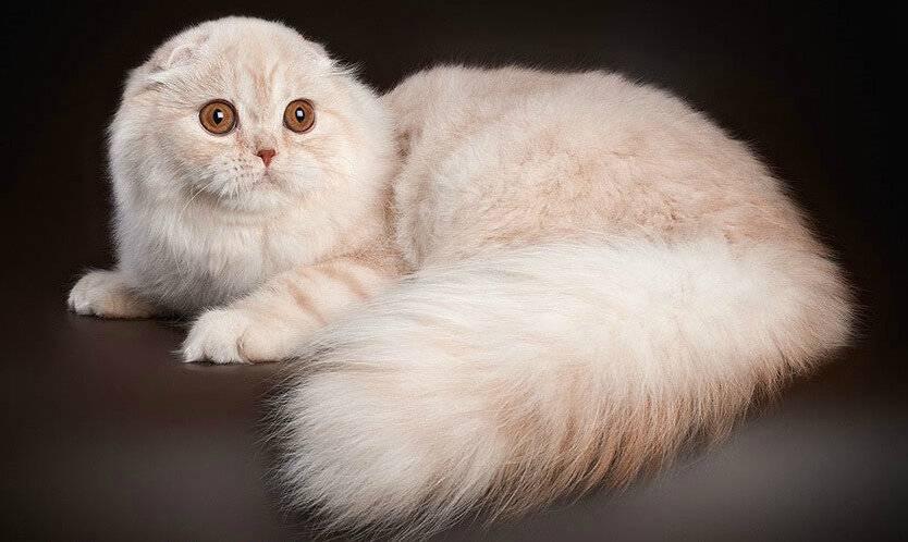 Шотландская кошка: описание окраса и характера породы, уход за шотландцем и его содержание, выбор котёнка, отзывы владельцев, фото кота