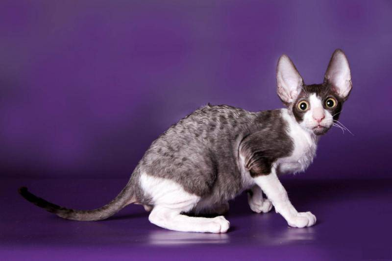 Корниш-рекс: все о кошке, фото, описание породы, характер, цена