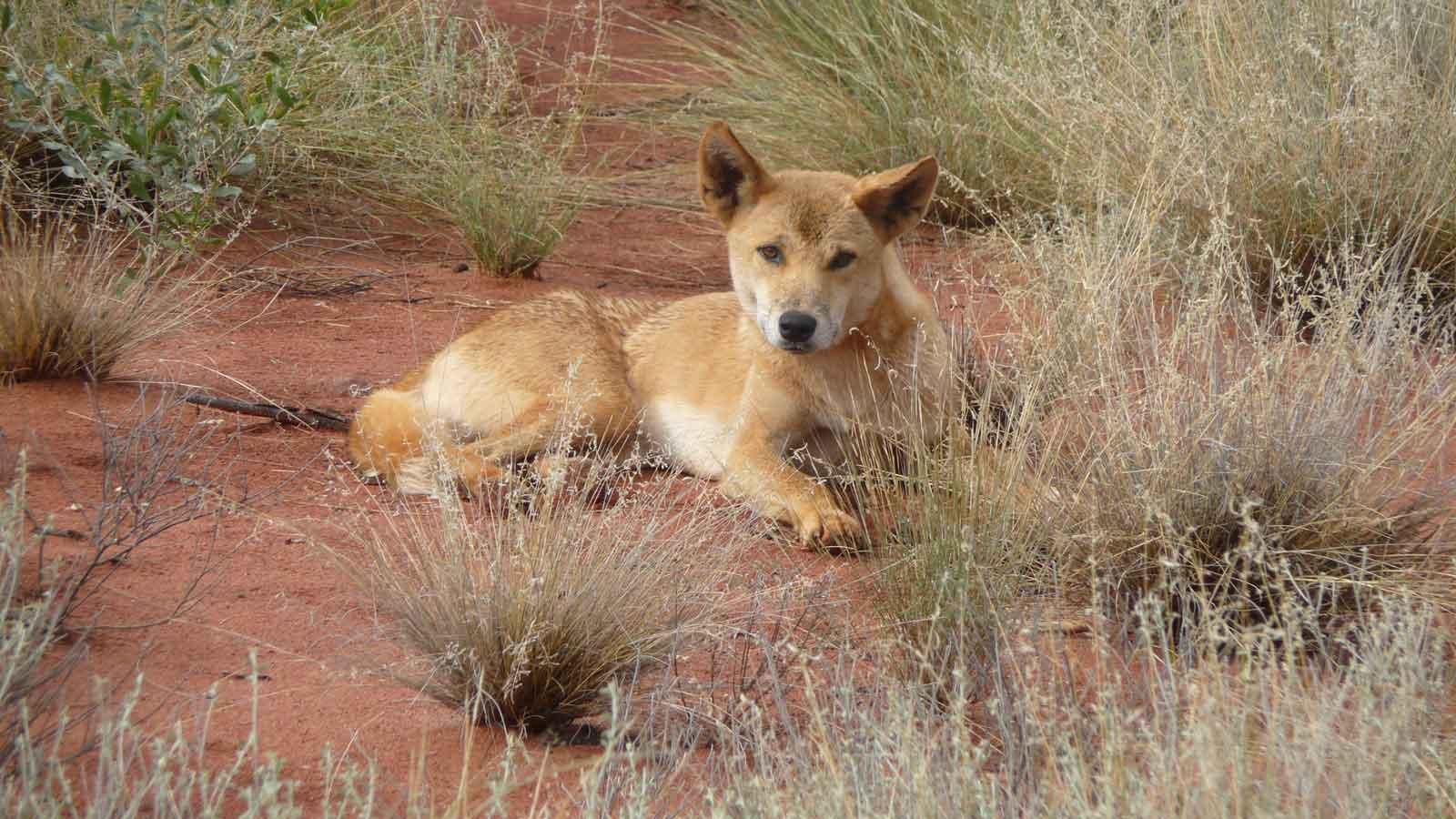 Собака динго австралии. описание дикой собаки динго