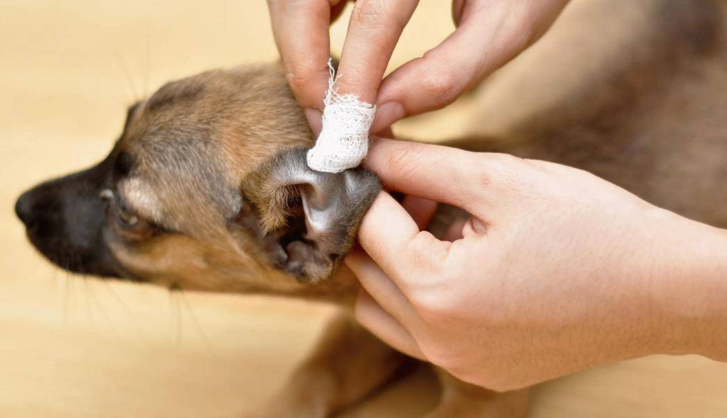 Чем опасен ушной клещ у кошек