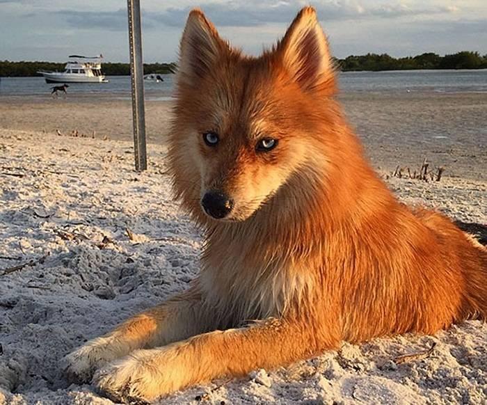 Собака с лисьей мордой. померанские шпицы лисичка. толстый мопс не очень сочетается