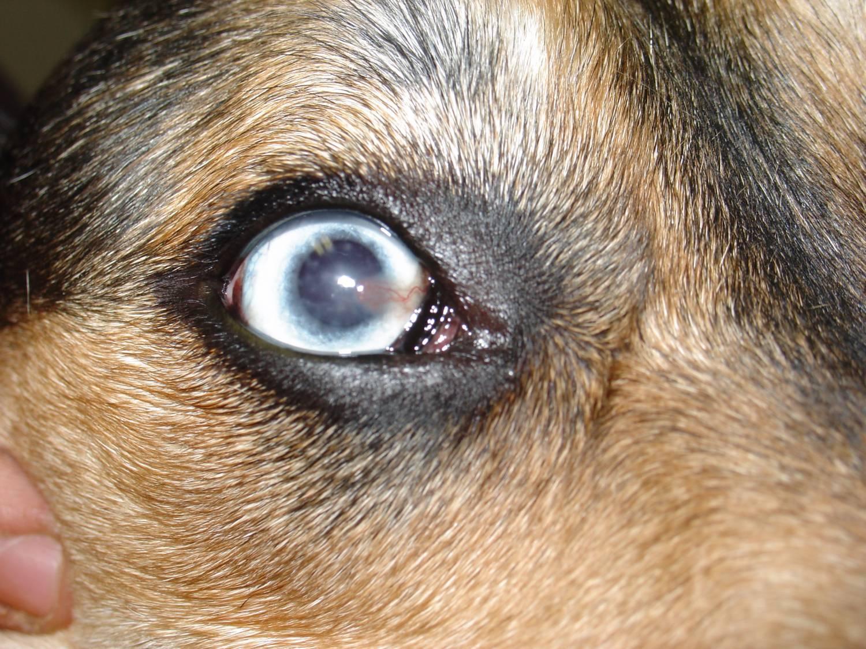 """Дирофиляриоз у собак и кошек - лечение, симптомы, профилактика в москве. ветлиника """"зоостатус"""""""