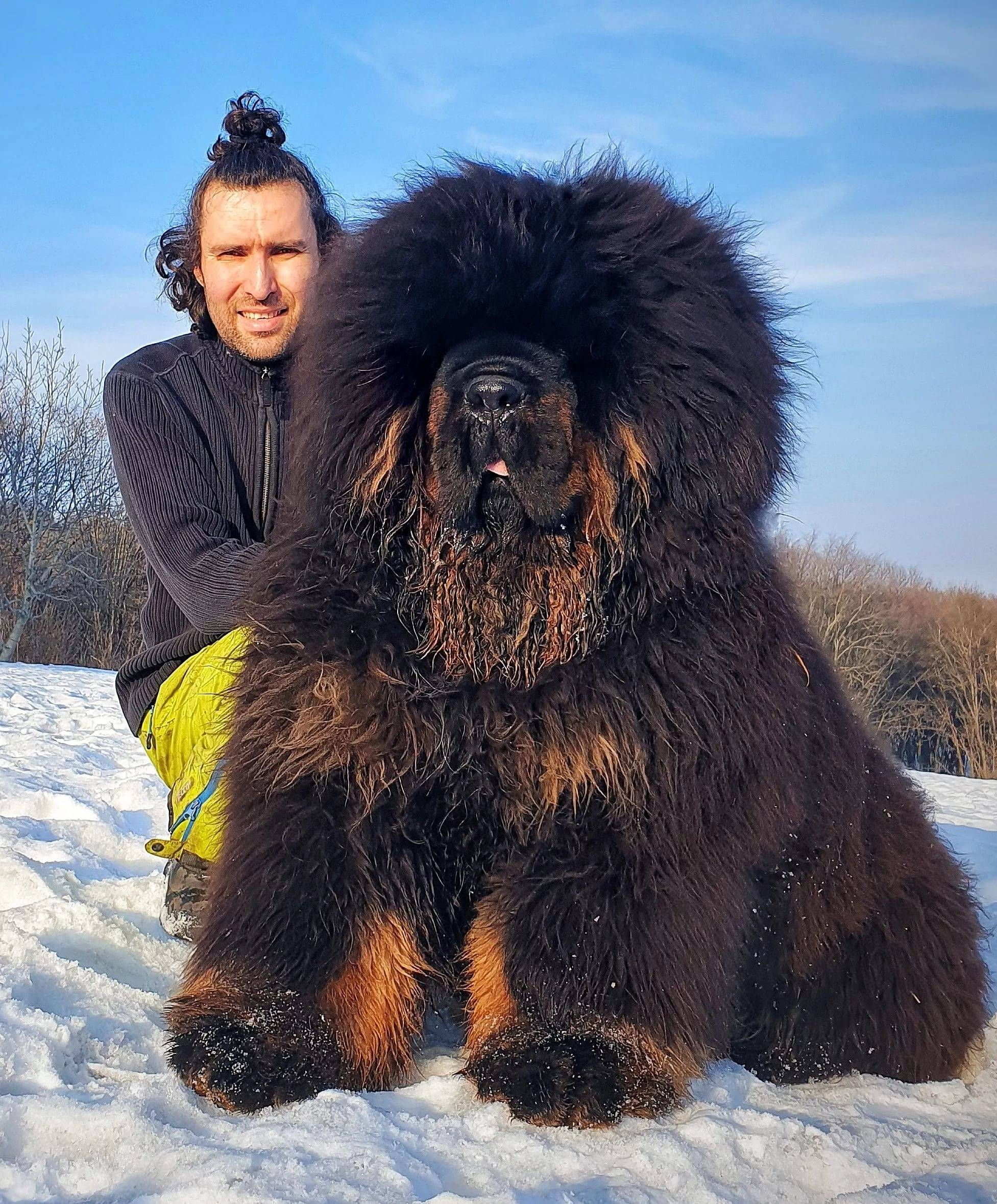 Самые большие тибетские мастифы (29 фото): самые крупные собаки породы тибетский мастиф в мире и в россии