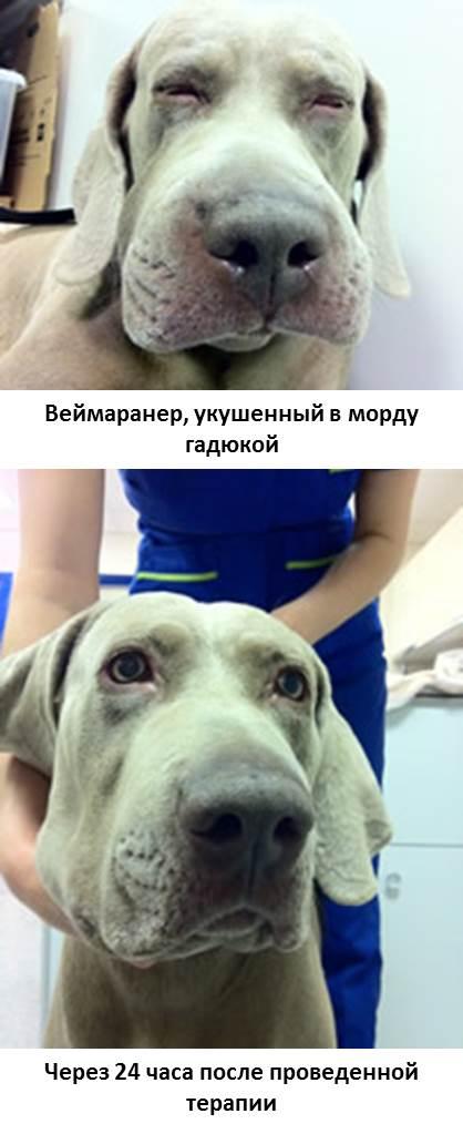 Собаку укусила пчела в нос, что делать