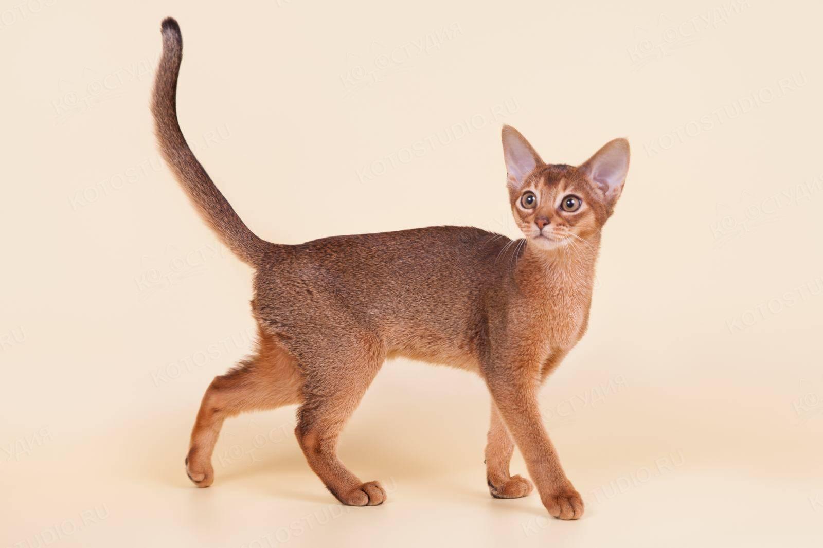 Цейлонская кошка - особенности, характер и болезни породы. питание и уход за цейлонскими кошками – petadvisor
