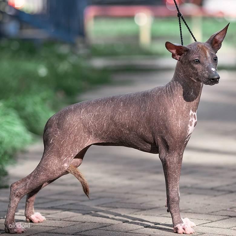Ксолоитцкуинтли: описание, особенности и советы по содержанию собаки (110 фото)