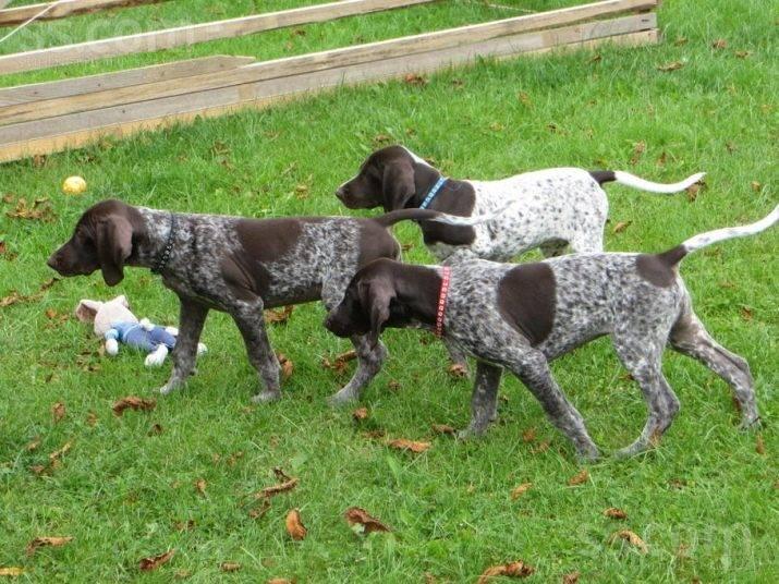 Самые популярные охотничьи собаки: описание наилучших представителей